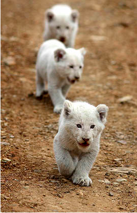 Soooo cute!  Very rare white lion cubs in the wild in Africa